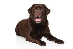Cão de labrador retriever do chocolate Imagem de Stock Royalty Free