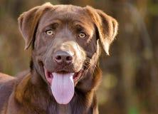 Cão de labrador retriever do chocolate imagem de stock