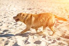 Cão de labrador retriever na praia Alargamento de Sun Fotografia de Stock