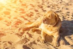 Cão de labrador retriever na praia Alargamento de Sun Imagem de Stock Royalty Free