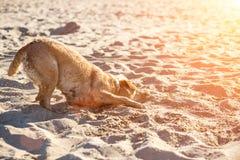 Cão de labrador retriever na praia Perdigueiro ruivo que encontra-se na areia Alargamento de Sun Fotos de Stock Royalty Free