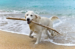Cão de labrador retriever que joga na praia Fotos de Stock Royalty Free