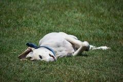Cão de Labrador, Tailândia Foto de Stock