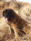 Cão de Leonberger Imagem de Stock Royalty Free