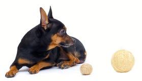 Cão de Liitle imagens de stock