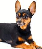 Cão de Liitle… isolado. fotos de stock