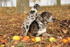 Cão de Louisiana Catahoula com o cachorrinho no outono Foto de Stock