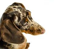 Cão de mármore curto do bassê, cão de caça, isolado sobre o fundo branco Fotos de Stock