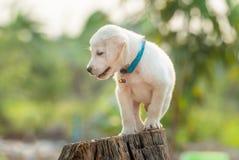 Cão de Malteze que espreita através da cerca Foto de Stock