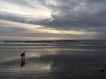 Cão de mar Imagens de Stock