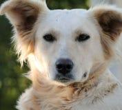 Cão de Minas Gerais Fotografia de Stock Royalty Free