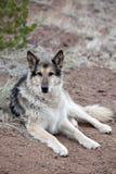 Cão de Mixbreed do pastor alemão fotografia de stock