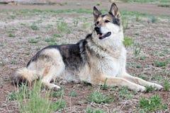 Cão de Mixbreed do pastor alemão fotos de stock royalty free