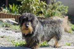Cão de Mlittle Fotografia de Stock Royalty Free