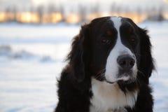 Cão de montanha de Bernese foto de stock