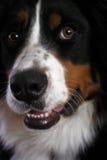 Cão de montanha de Bernese 1 foto de stock