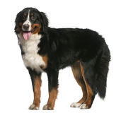 Cão de montanha de Bernese, 12 meses velho, posição Imagem de Stock