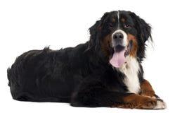 Cão de montanha de Bernese, 2 anos velho, encontrando-se Fotos de Stock