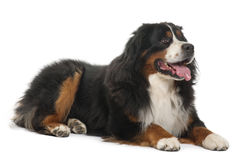 Cão de montanha de Bernese, 3 anos velho, encontrando-se fotografia de stock royalty free