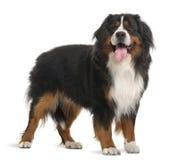 Cão de montanha de Bernese, 3 anos velho, posição Fotografia de Stock