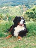 Cão de montanha de Bernese Fotografia de Stock Royalty Free