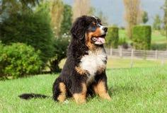 Cão de montanha de Bernese Fotos de Stock