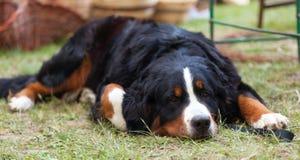 Cão de montanha de Bernese Imagem de Stock Royalty Free