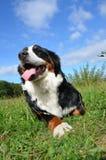 Cão de montanha de Bernese Imagens de Stock