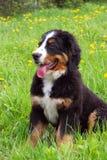 Cão de montanha de Bernese do filhote de cachorro Foto de Stock