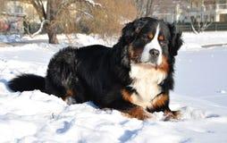 Cão de montanha de Bernese no inverno Foto de Stock Royalty Free