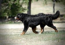 Cão de montanha de Bernese que corre na natureza Imagens de Stock