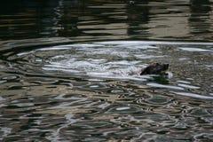 Cão de natação Imagem de Stock Royalty Free