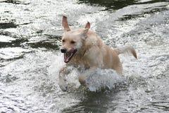 Cão de natação Fotografia de Stock