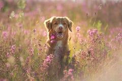 Cão de Nova Scotia Duck Tolling Retriever em um campo das flores Animal de estimação feliz no sol, po fotografia de stock