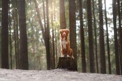 Cão de Nova Scotia Duck Tolling Retriever na natureza na floresta Fotos de Stock