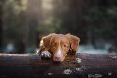 Cão de Nova Scotia Duck Tolling Retriever na natureza na floresta Imagem de Stock