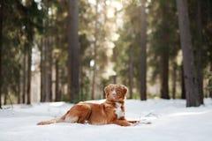 Cão de Nova Scotia Duck Tolling Retriever na natureza na floresta Imagem de Stock Royalty Free