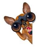 Cão de observação com binóculos fotos de stock royalty free