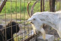 Cão de observação da cabra Imagem de Stock
