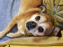 Cão de olhos brilhantes que olha acima foto de stock royalty free