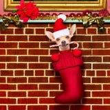 Cão de Papai Noel do Natal nas meias para o xmas Imagem de Stock Royalty Free
