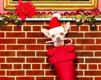 Cão de Papai Noel do Natal nas meias para o xmas Foto de Stock