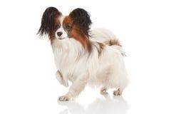 Cão de Papillion Fotografia de Stock