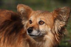 Cão de Papillon Foto de Stock Royalty Free
