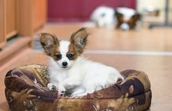 Cão de Papillon Fotos de Stock