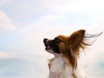 Cão de Papillon Imagens de Stock