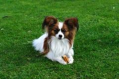 Cão de Papillon com stix do denta Fotos de Stock