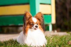 Cão de Papillon que olha algo, com língua retirada imagem de stock