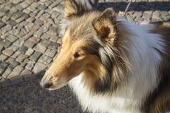 Cão de passeio Fotografia de Stock Royalty Free