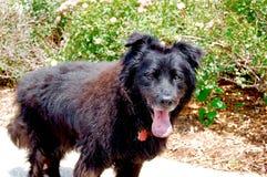 Cão de passeio com sua língua para fora em um dia de verão Fotos de Stock